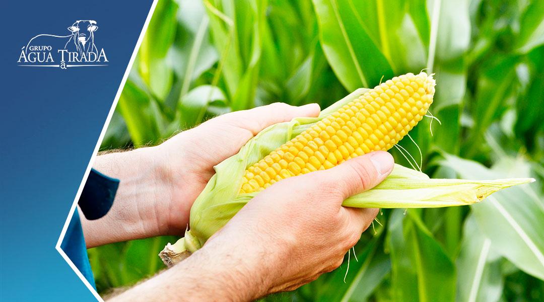 A produção de milho no Brasil