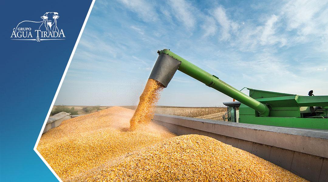 A importância da produção de milho